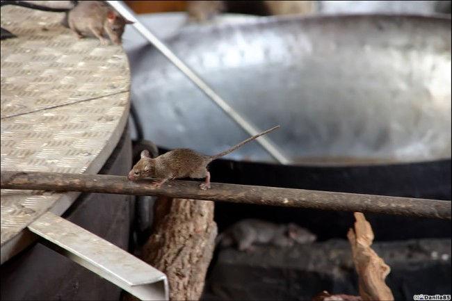 Храм Карни Мата: храм крыс (Индия)