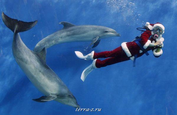 Дайвер в костюме Санта Клауса плавает с дельфинами в аквариуме Морского рая Хаккеидзима в Йокогаме, Япония. 25 декабря 2009. REUTERS/Yuriko Nakao