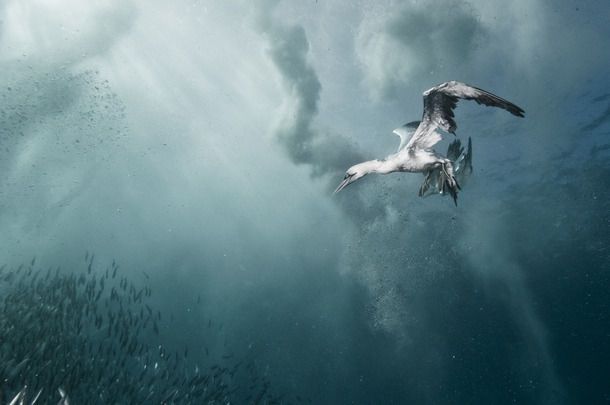 "Александр Сафонов ""plunge diver"""