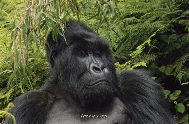 Mountain Gorilla, Volanoes National Park, Rwanda