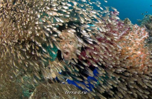 Diver and Golden Sweepers, Raja Ampat Islands, West Papua Province, Indonesia