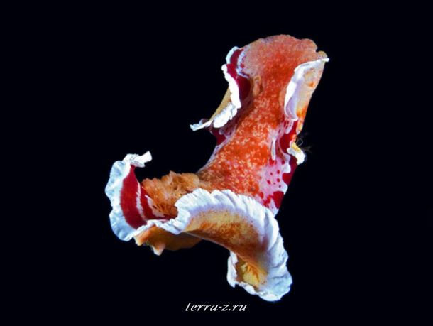 Взмахом своей юбки Hexabranchus sanguineus может избежать опасности, улизнув в открытое море – это умение отсутствует у многих его сородичей. Известный под названием «испанский танцор», этот вид – настоящий гигант среди голожаберных моллюсков; некоторые особи доходят до 45 см, питаясь исключительно губками. Когда моллюск не показывает своей яркой расцветки, чтобы отпугнуть хищников, он обычно тихо прячется на своей территории обитания