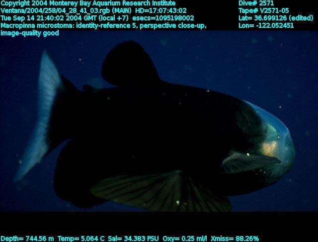 """Рыбка """"прозрачная голова"""", Макропинна микростома"""
