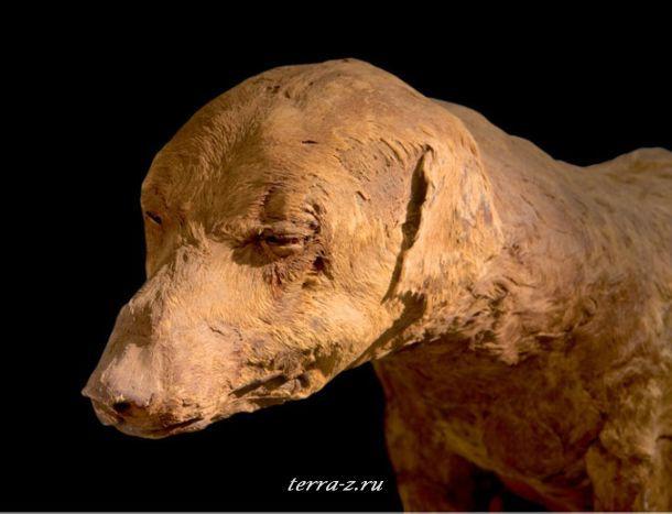 Охотничья собака, бинты которой отвалились давно, принадлежала вероятно фараону. Когда он умер, собаку похоронили в специально подготовленной гробнице в Долине царей