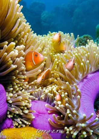 Pink Anemonefish, Turtle Bay, Norman Reef, Cairns, Queensland, Australia