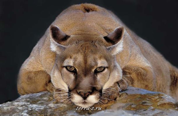 Mountain Lion at Elmswood Park Zoo, Norristown, PA, USA