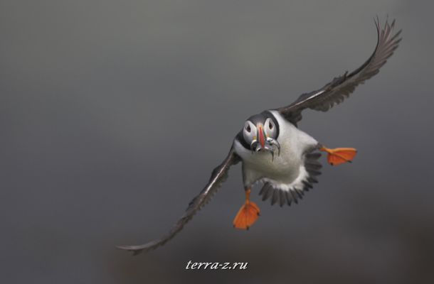 Atlantic Puffin at the Treshnish Isles, Scotland, UK