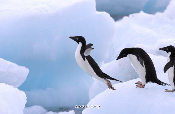 Adélie Penguins, Antarctica Peninsula, Antarctica