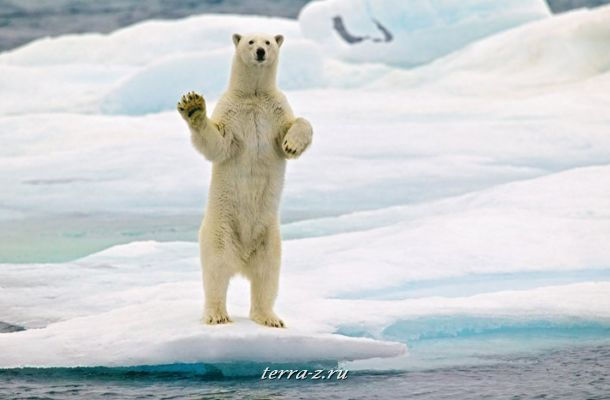 Polar Bear at Arctic Ocean Svalbard, Norway