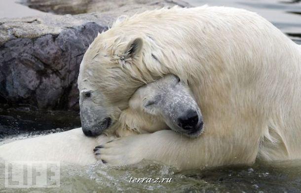 Полярные медведи Билл и Лара демонстрируют зрителям свою «любовь с первого взгляда» во время их первой встречи в немецком зоопарке.