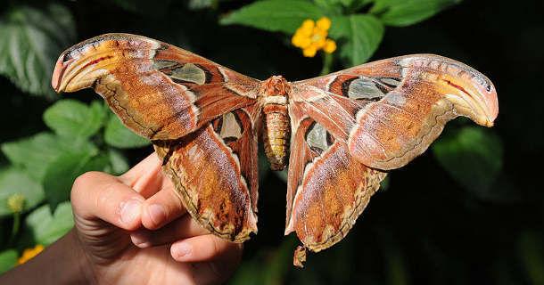 """""""Павлиноглазка Атлас"""" - самая крупная бабочка"""