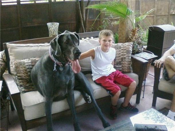 Дог Джордж - самая высокая собака (США)