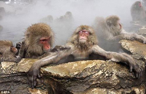 Спа-салон для обезьян (парк Jigokudani, Япония)