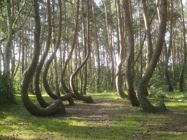 """""""Кривой лес"""" с кривыми деревьями (Польша)"""