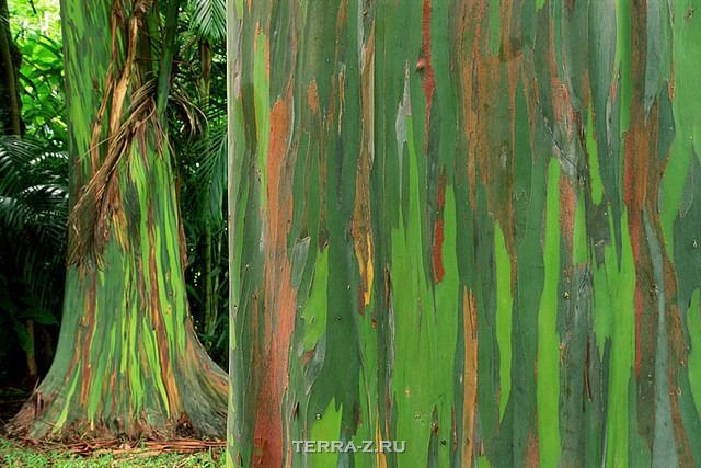 Радужный эвкалипт - самое красочное дерево на Земле