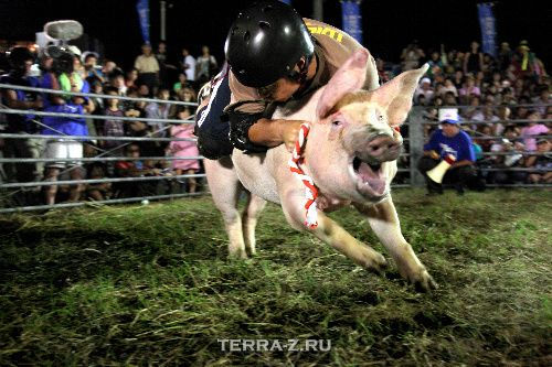 Свиное родео (Микаме, Япония)