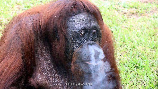 Ширли – курящий орангутанг (Малайзия)