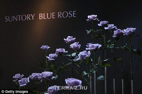 Первая в мире синяя роза (Япония)