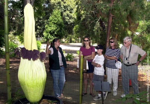 Титан Арум – самый крупный цветок в мире