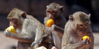 """Фестиваль """"Шведский стол для обезьян"""" в Лопбури (Таиланд)"""
