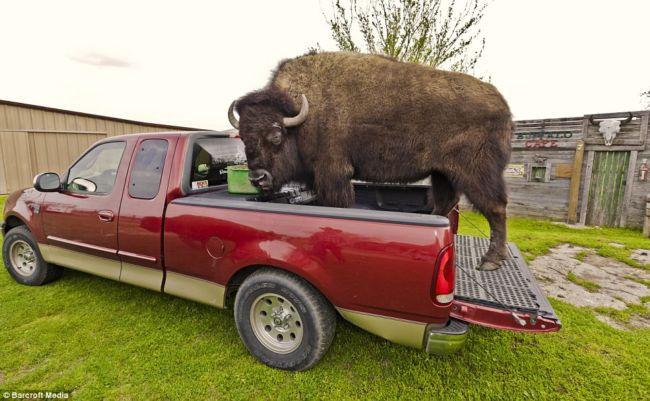 Дом, где живут ручные бизоны (США)
