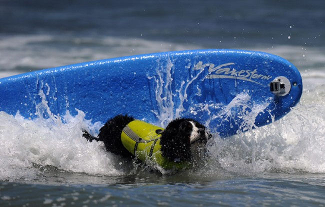 Шестой ежегодный конкурс собачьего серфинга (Америка)