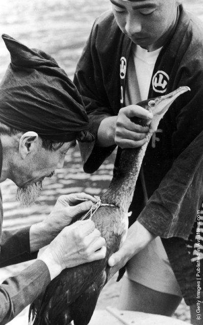 Рыбная ловля бакланами