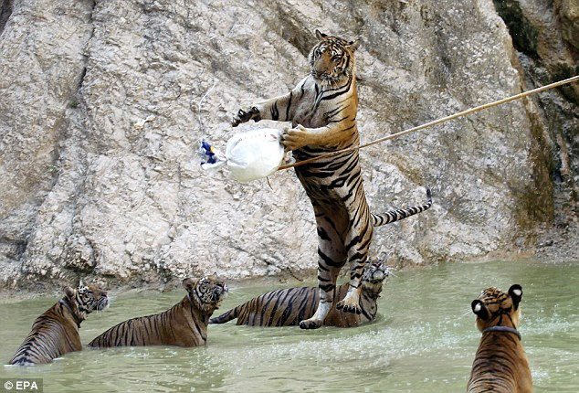 Храм тигров: в обнимку с хищником (Таиланд)