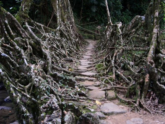 Живые мосты Черрапунджи (Индия)