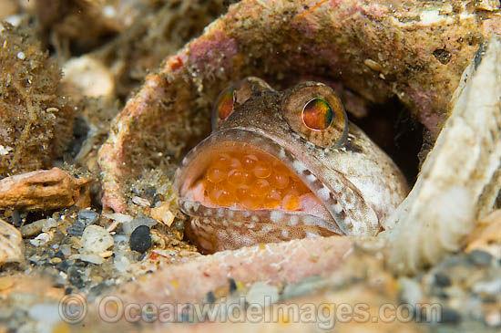 Пестрый большерот: рыба, которая вынашивает икру во рту