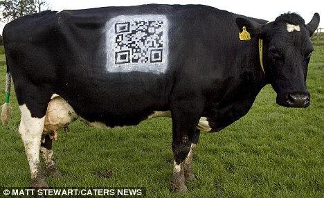 Цифровые коровы графства Сомерби (Англия)