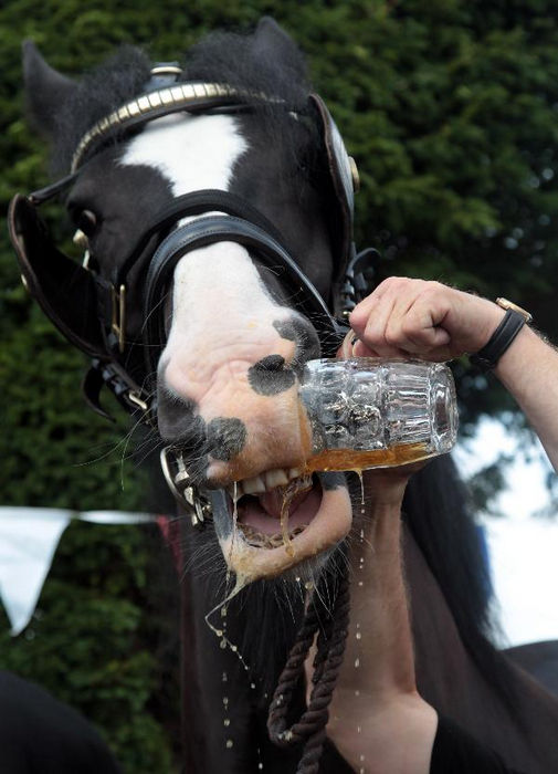Английские лошади, которые 100 лет пьют пиво