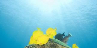 Черепахи и Желтые зебрасомы