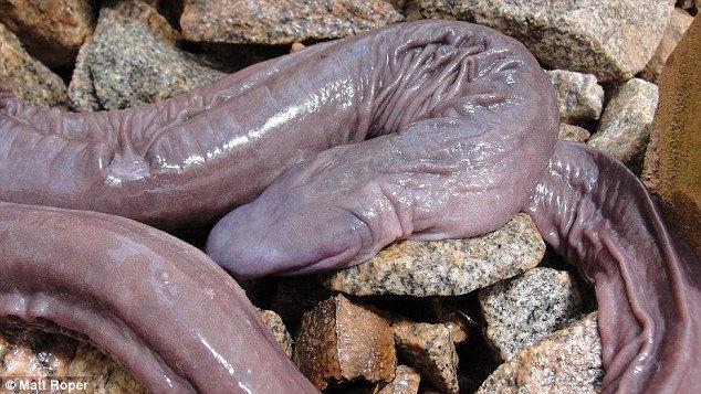 Аtretochoana eiselti: слепая змея… или лягушка? (Бразилия)