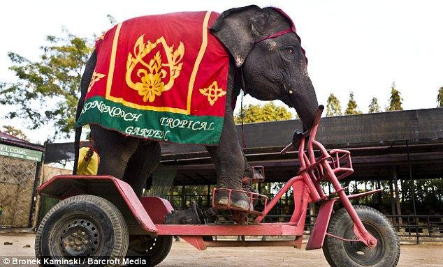 Слоны-велосипедисты (Таиланд)