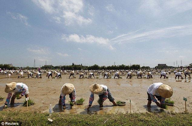 Самая массовая посадка риса (Тайвань)