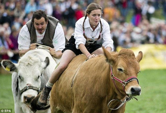 5-й чемпионат бычьих гонок в Мюнсинге (Германия)