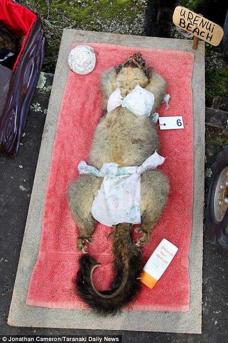 Маскарад мертвых опоссумов в новозеландской школе