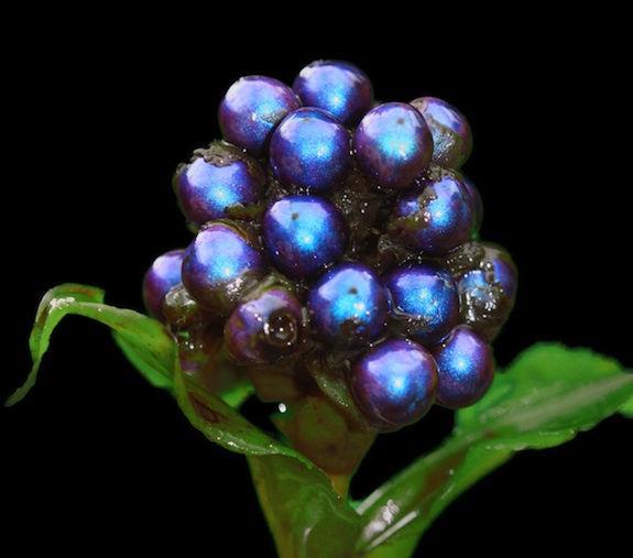 Pollia condensata: ягоды цвета металлик