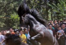 Бои лошадей в Китае