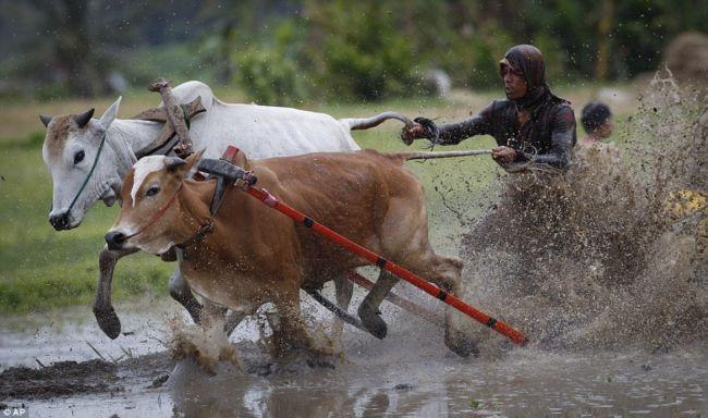 Гонки на бычьих упряжках 2012 (Индонезия)