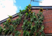 Самый высокий 9-метровый подсолнух (Англия)