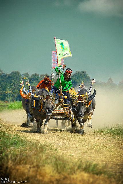 Макепунг: скачки на буйволах 2012 (Бали)