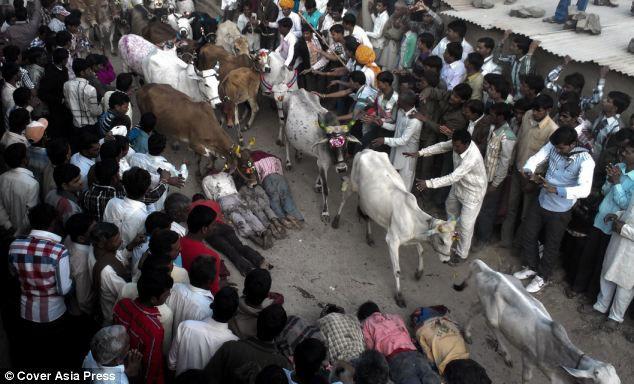 Праздник Экадаши: коровы топчут крестьян во имя процветания (Индия)