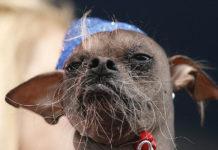 Магли: самая некрасивая собака планеты (Англия)