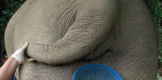 Black Ivory coffee: кофе из слоновьего навоза