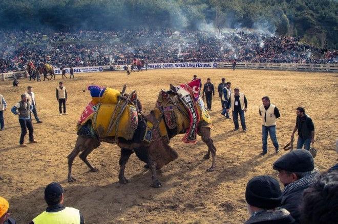 Бои верблюдов в Турции