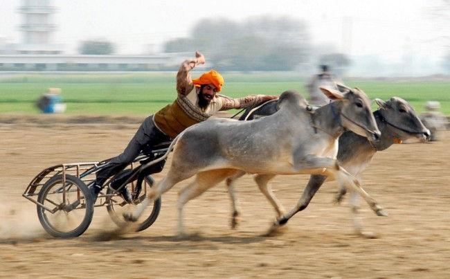 Фестиваль Кила Райпур или Сельские Олимпийские игры (Индия)