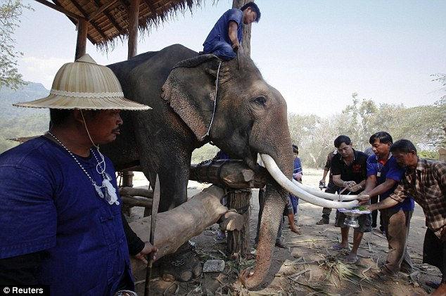 Обрезать бивни - спасти слонов (Таиланд)