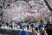 Фестиваль Вишневого Цвета в Вашингтоне